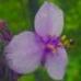 Spiderwort/Bee